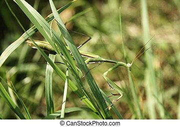Praying Mantis on the grass