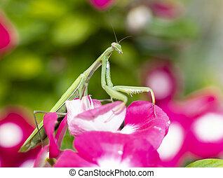 Praying Mantis on Vinca Flower