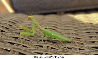 Praying mantis on wattled chair outdoor - Close-up shot of...