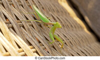 Praying mantis on wicker chair outdoor - Close-up shot of...