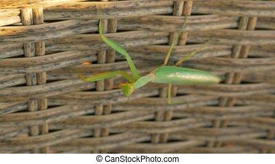 Praying mantis on wicker hedge - Close-up shot of praying...