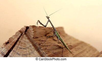 Praying Mantis - Praying Mantis looks at the camera and...