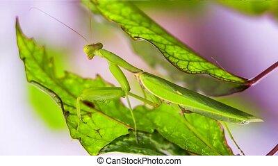 Praying Mantis Pretending To Be A Green Leaf