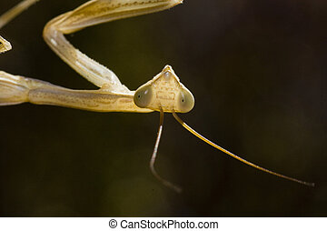 Praying Mantis religiosa