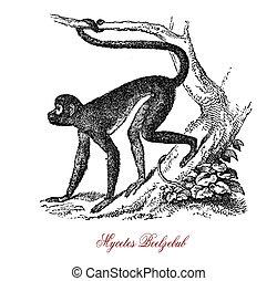 Preacher monkey or Mycetes Beelzebub, vintage engraving