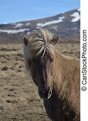 Precious Icelandic Horse in a Field with Mountains in the Background