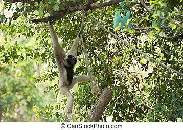 Precious specimen of Gibbon