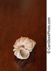 Precious wentletrap Epitonium scalare seashell On a black ...