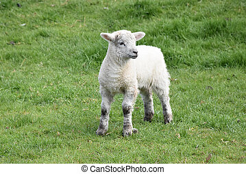 Precious White Easter Lamb in a Field in England