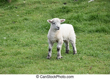 Precious White Lamb Standing in a Field in the Spring
