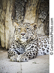 predator, beautiful and powerful leopard resting in the sun