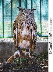 predator, beautiful owl with intense eyes and beautiful plumage