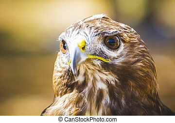 predator, eagle, diurnal bird of prey with beautiful plumage...