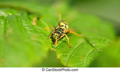 Predator - The wasp cleans jaws and wings, sitting on a leaf...