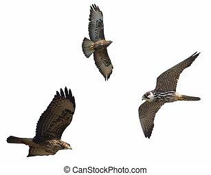 Predators, Common Buzzard and Hobby, isolated on white background, Falco subbuteo, Buteo buteo