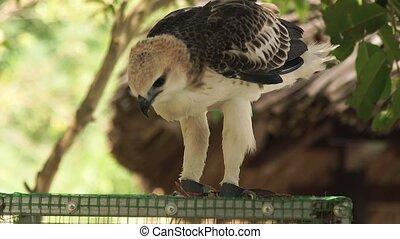 Predatory bird snake eagle eating fresh meat sitting on cage...