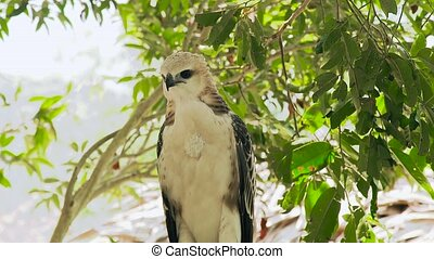 Predatory bird snake eagle looking into camera on tree...