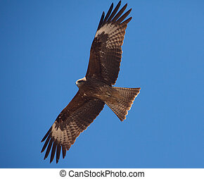 Predatory bird soaring in the blue sky, watching for its ...