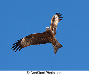 Predatory bird soaring in the blue sky, watching for its prey