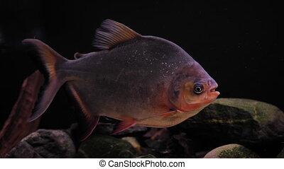 Predatory fish in the aquarium