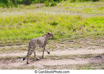 Predatory mammals in Masai Mara Park. The cheetah walk freely on the car tracks of the savannah. Jeep-safari in spring in the African savannah. Kenia. Concept of extreme and photo tourism