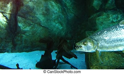 Predatory Tropical Fish with Big Teeth in a Public Aquarium. FullHD video