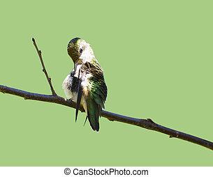 Preening hummingbird on green.