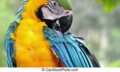 Preening Macaw - Blue and yellow macaw preening itself in...