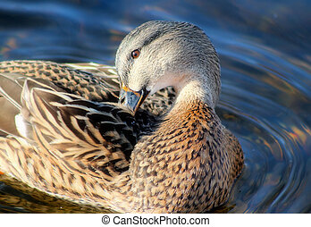 Mallard duck female preening her feathers on calm blue waters