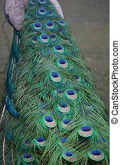 Preening peacock taken in Costa Rica