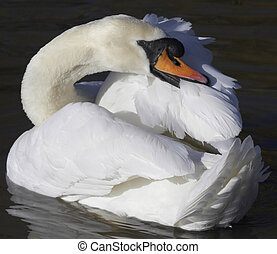 This image of a Mute Swan preening it's plumage was captured on a lake in England, UK.