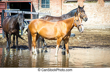 Pregnant bay quarter horse mare in the fall pasture -...