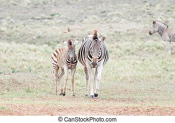 Pregnant Burchells zebra mare and her foal