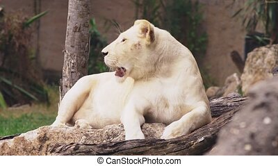 pregnant female white lion. The white lions are a colour mutation of the Transvaal lion , Panthera leo krugeri, also known as the Southeast African or Kalahari lion