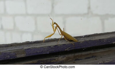 Pregnant female yellow mantis religiosa on old window -...