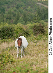pregnant horse - wild horse that is pregnant and standing in...