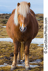 Pregnant Icelandic Horse - Icelandic Horse in dry glass...