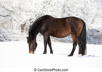 pregnant mare in snow - a brown Holstein mare in winter on a...