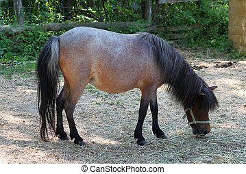 Pregnant Miniature horse - Pregnant miniature horse eating...