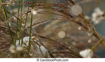 premier, lame, séché, lent, fondre, neige, herbe