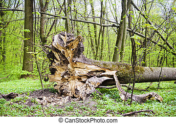 premier plan, printemps, forêt arbre, baissé, racines