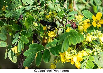 prend, acacia., guêpe, bourdon, jaune, buisson, grand, fleurs, nectar