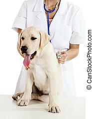 prendre, chien, soin, veterinay