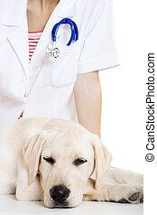 prendre, veterinay, chien, soin