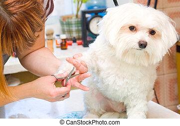 preparación, maltés, perro