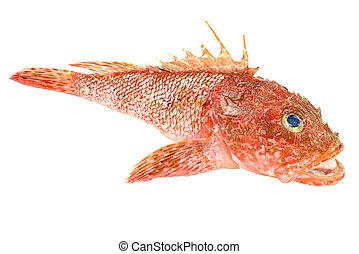preparado, mariscos, plano de fondo, scorpionfish, aislado, blanco rojo