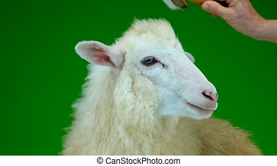 preparation for photography, combing sheep on the green...