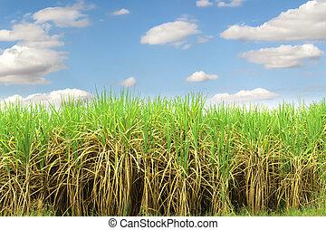 Prepare Sugarcane Field