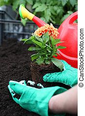 Preparing dahlia for planting - Gardener prepares dahlia...