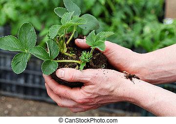 Preparing strawbery plant for planting - Gardener prepares...
